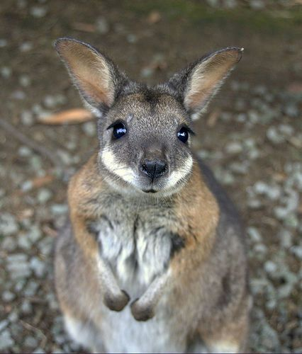 WE NEED A WALLABY!!!!