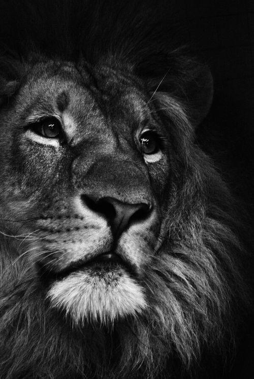 résultat de recherche d images pour black and white lion animals