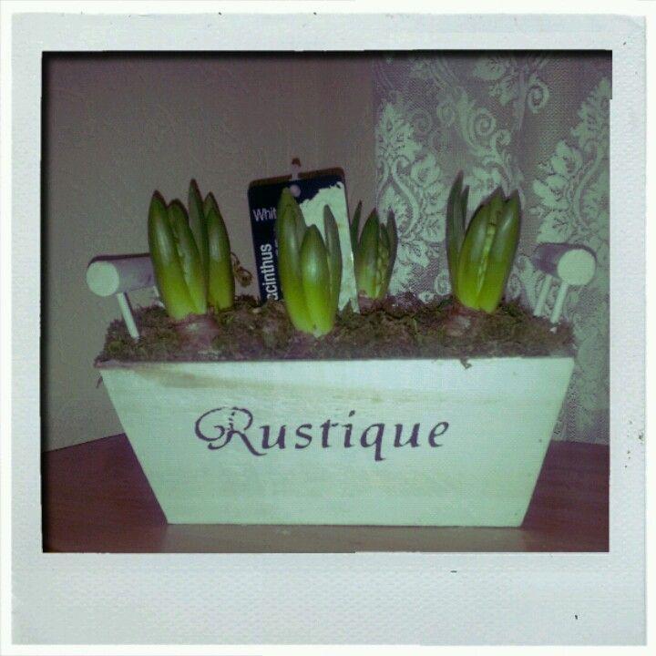 My White Hyacinthus