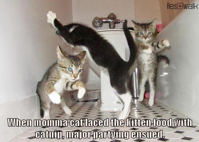5304a7fb771958460512d16e8bfbcaa8 who let the cats out? catnip memes from the