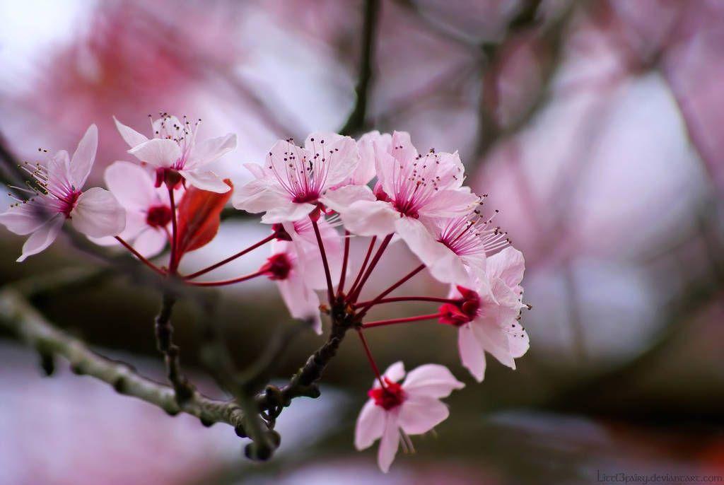 Sakura Flower By Samantha Meglioli Sakura Flower Beautiful Flowers Most Beautiful Flowers