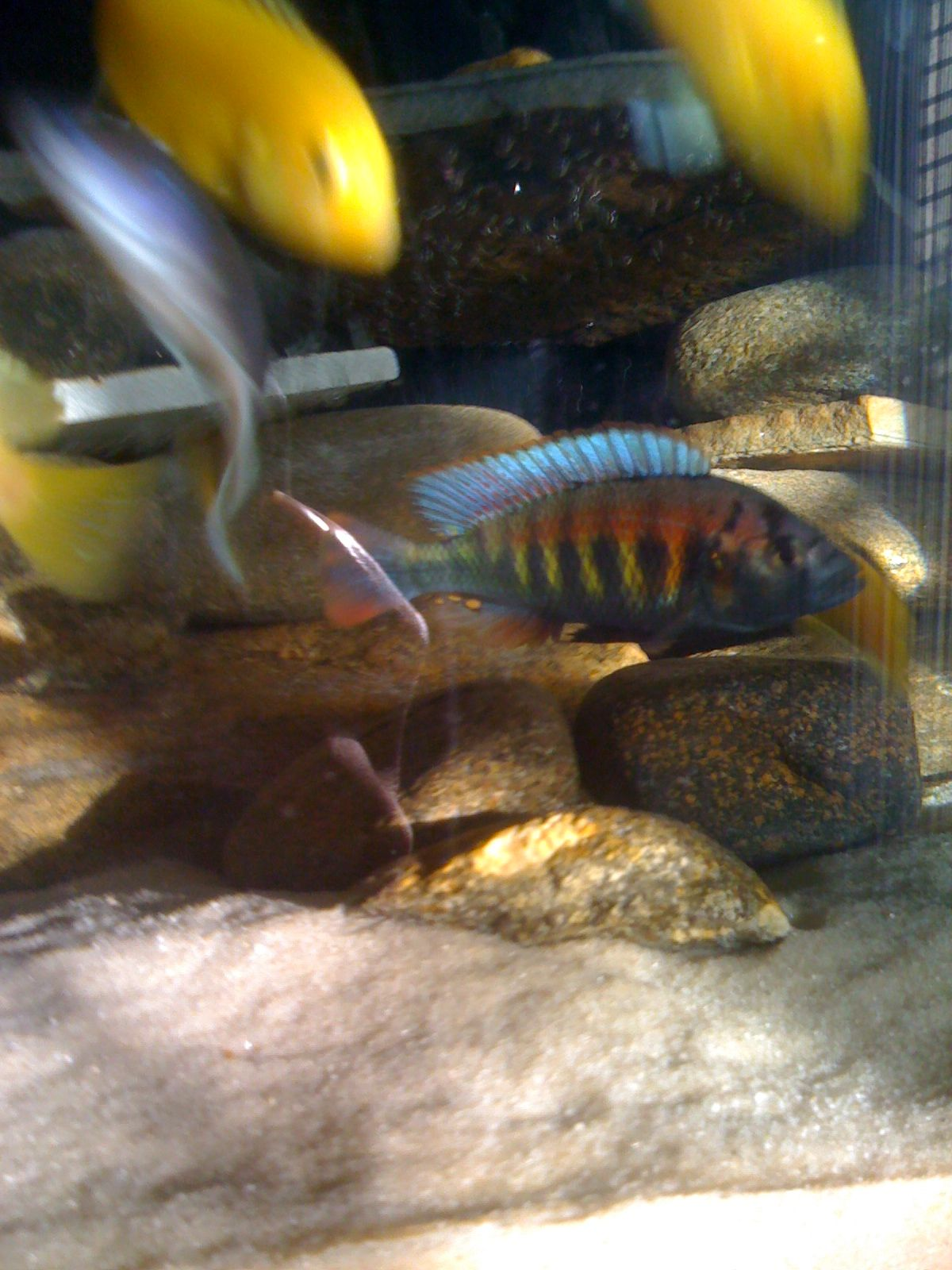 My yellow African cichlid cichlids they are the best
