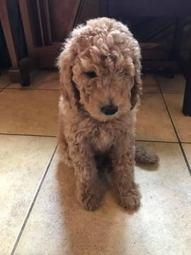 Litter Of 6 Poodle Standard Puppies For Sale In Denton Tx Adn