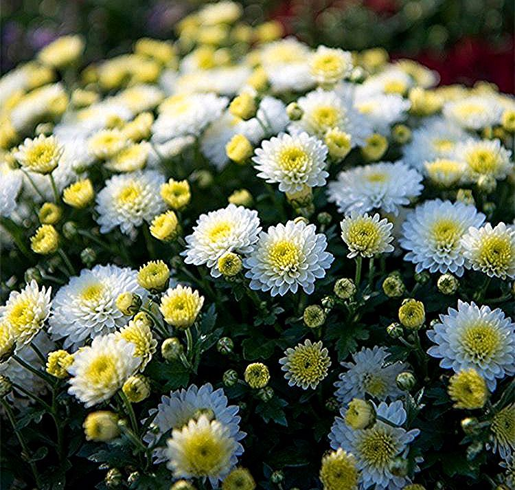 Krysantemum Vitenskapelig Navn Chrysanthemum Morifolium In 2020 Chrysanthemum Morifolium Chrysanthemum Plants