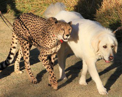 cheetah and dog friend san diego zoo safari park san diego