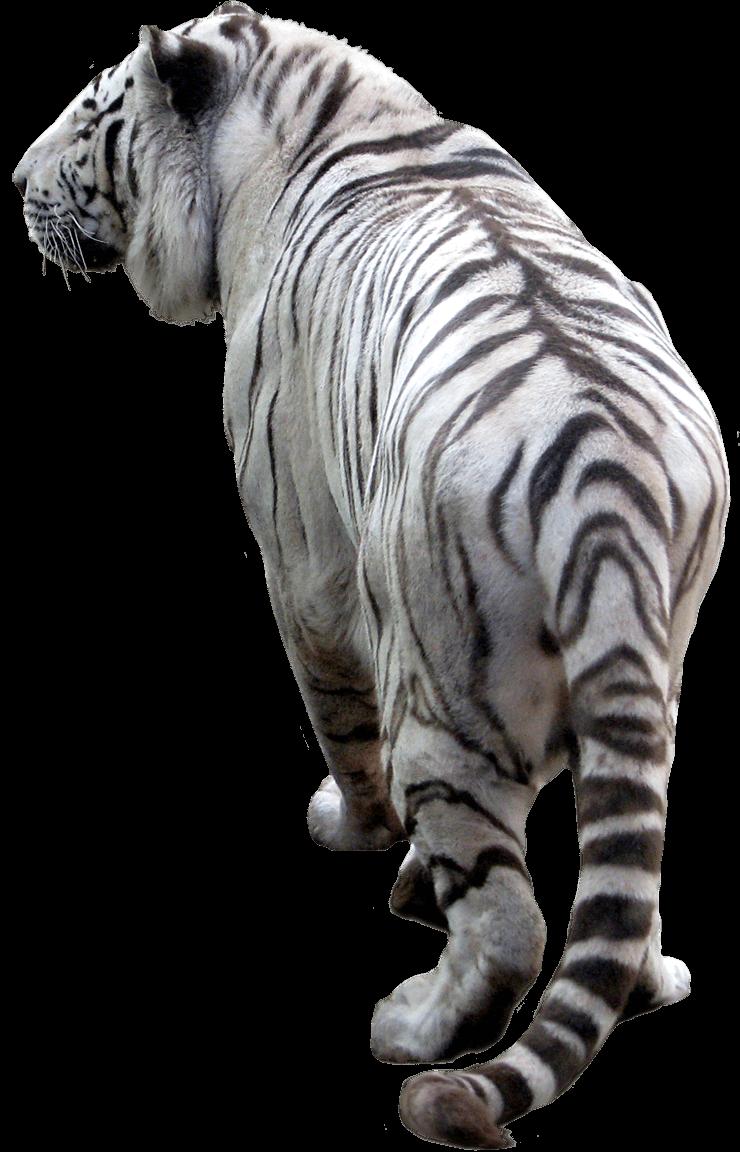 Tiger Png Image Download Tigers Png Image White Tiger Png Tiger