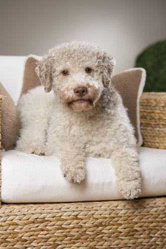 Lagotto Romagnolo Dogs ** Niedliche tiere, Hunde