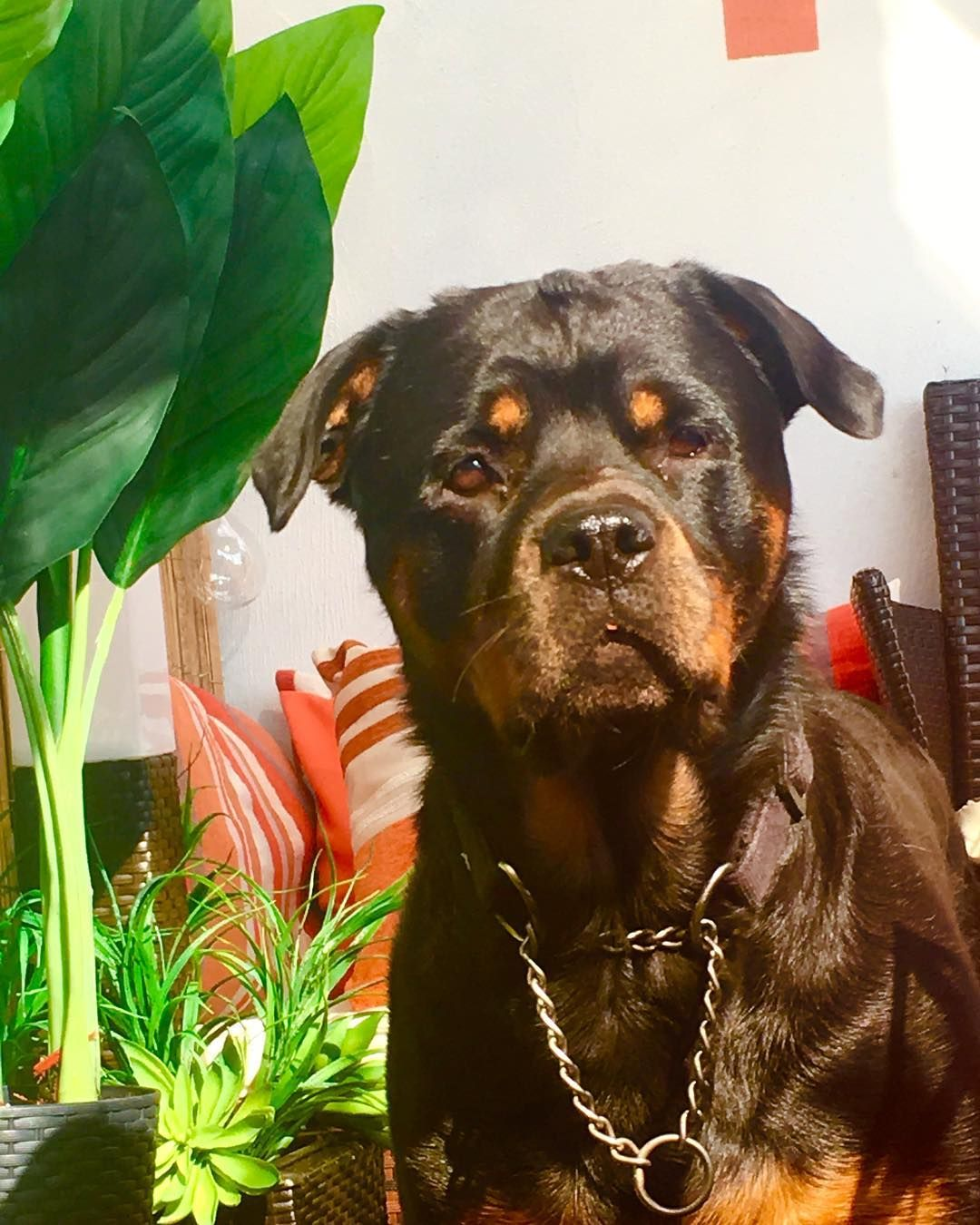 Sunny Afternoon In The Garden Rottweiler Doggoa Adorable