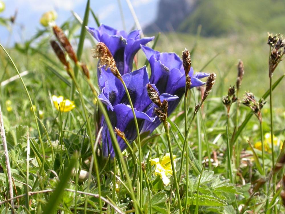Darmowe Zdjecia Natura Trawa Laka Preria Wiosna Botanika Flora Niebieski Kwiat Dziki Kwiat Krokus Gencjana Gorskie Spring Flowers Flowers Gentian