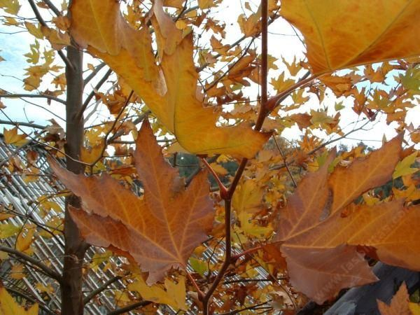 California sycamore.  Fast growing, deciduous, California native tree.  Great for adding fall color to the garden!  Requires moderate water.