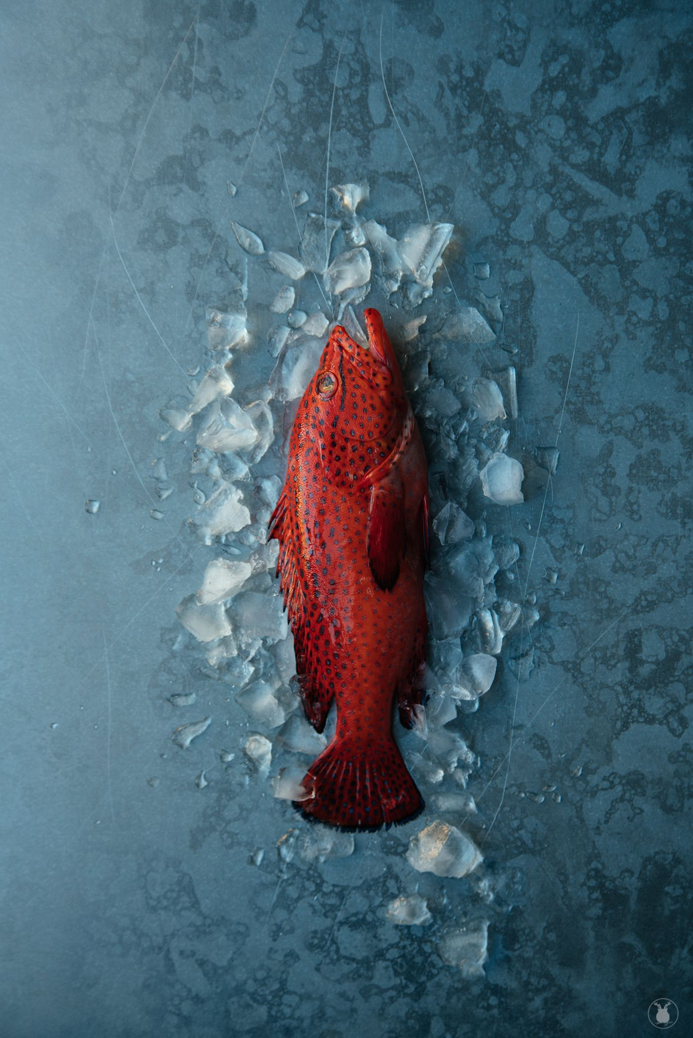 Coral trout. Fish,fresh,red. Food photography. Sasha O | Owl\'s ...