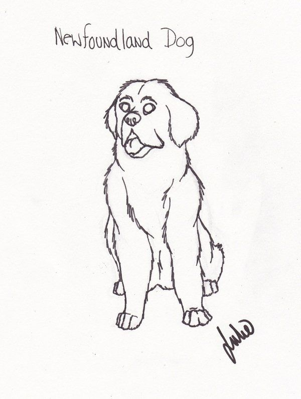 How To Draw Newfoundland Dogs Drawings Sketches Colorful Art