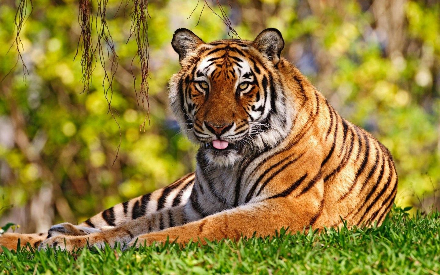 Tiger Images Hd Free Download Tiger Tiger Wallpaper Tiger Pictures Wild Animal Wallpaper