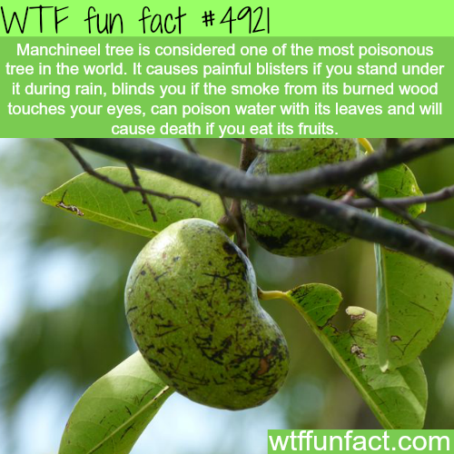 Part Ii More Fruit Of Poisonous Tree >> The Most Poisonous Tree In The World Wtf Fun Facts Science Fun