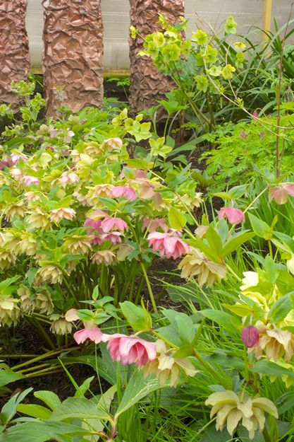 Ruffled 'Party Dress' hellebores come in shades of white, cream and pink.