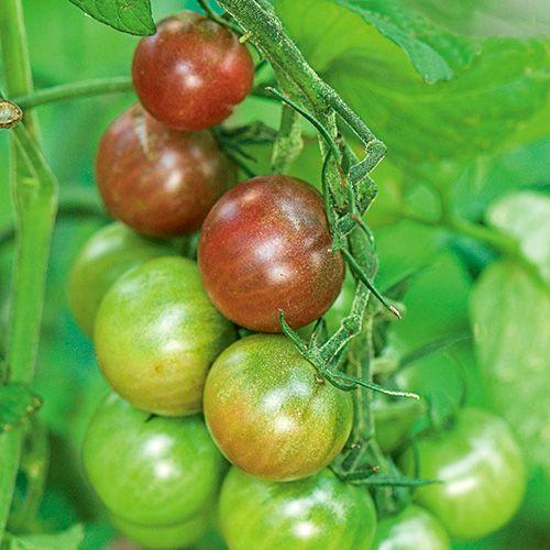 Tomato Black Cherry White Flower Farm Tomato Pruning 400 x 300