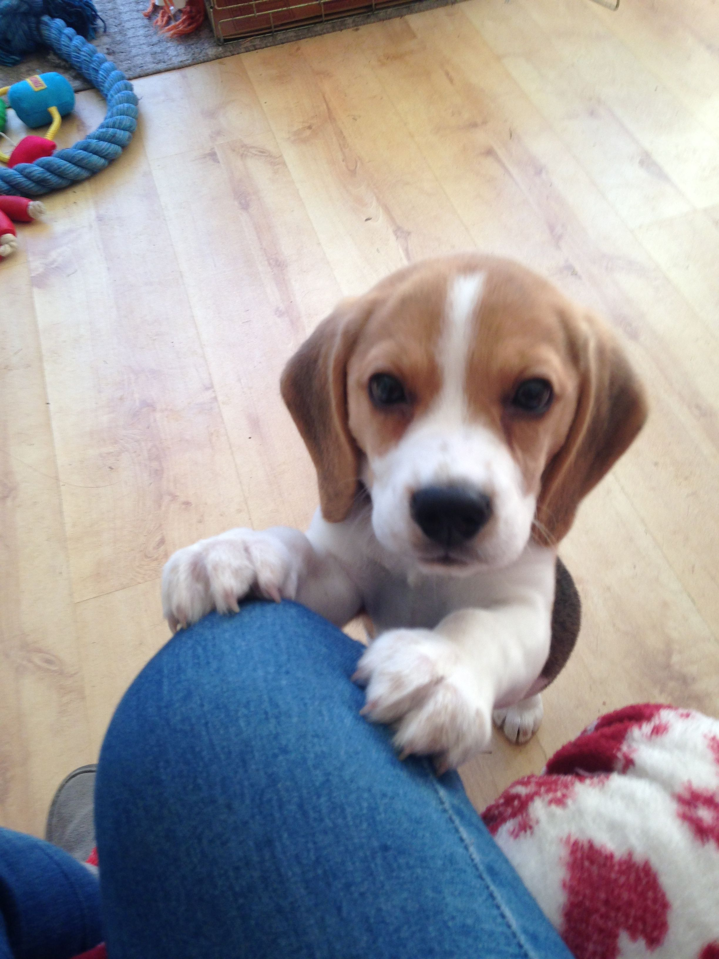 Pin By Mark Woodside On Cutest Puppy Cute Puppies Beagle Dogs