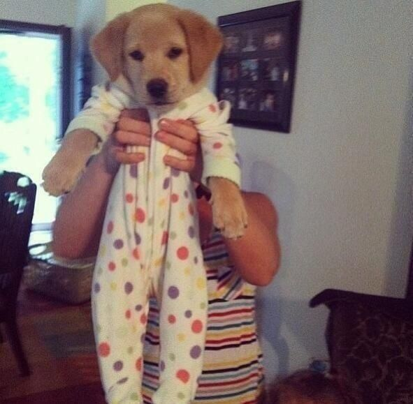 Golden Retriever Puppy Onesie Angus The Golden Retriever