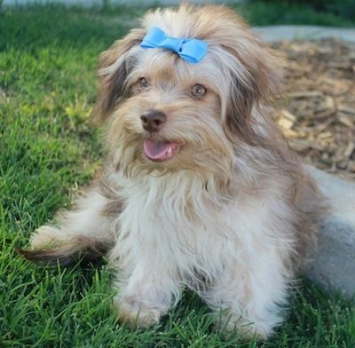Russian Tsvetnaya Bolonka Dog Breed Information And Pictures Dog Breeds Dogs Breeds