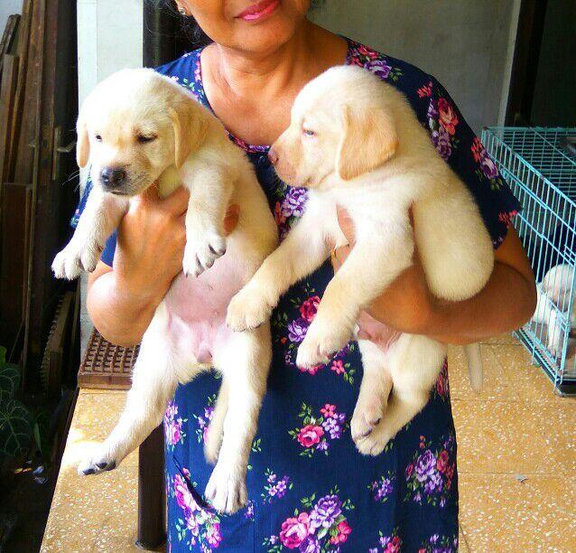 Dijual Anjing Labrador Retriever Jual 7 Magnificent Labrador