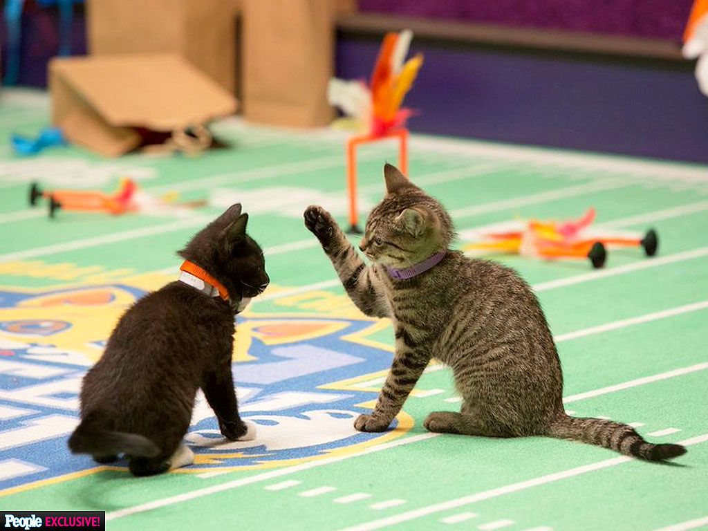 First Look Go Behind The Scenes At The Kitten Bowl Kitten Bowls Funny Cat Pictures Kitten