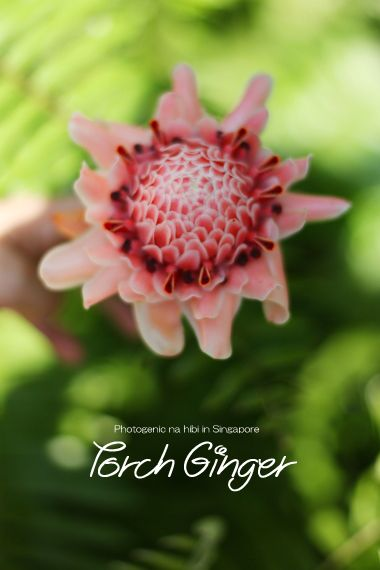 Torch Ginger**|フォトジェニックな日々 by Happy Singapore☆Diary