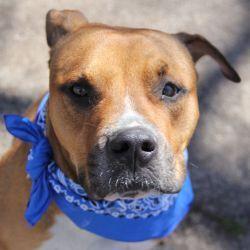 Adopt Benjamin 012720121 on Boxer dogs, Terrier mix