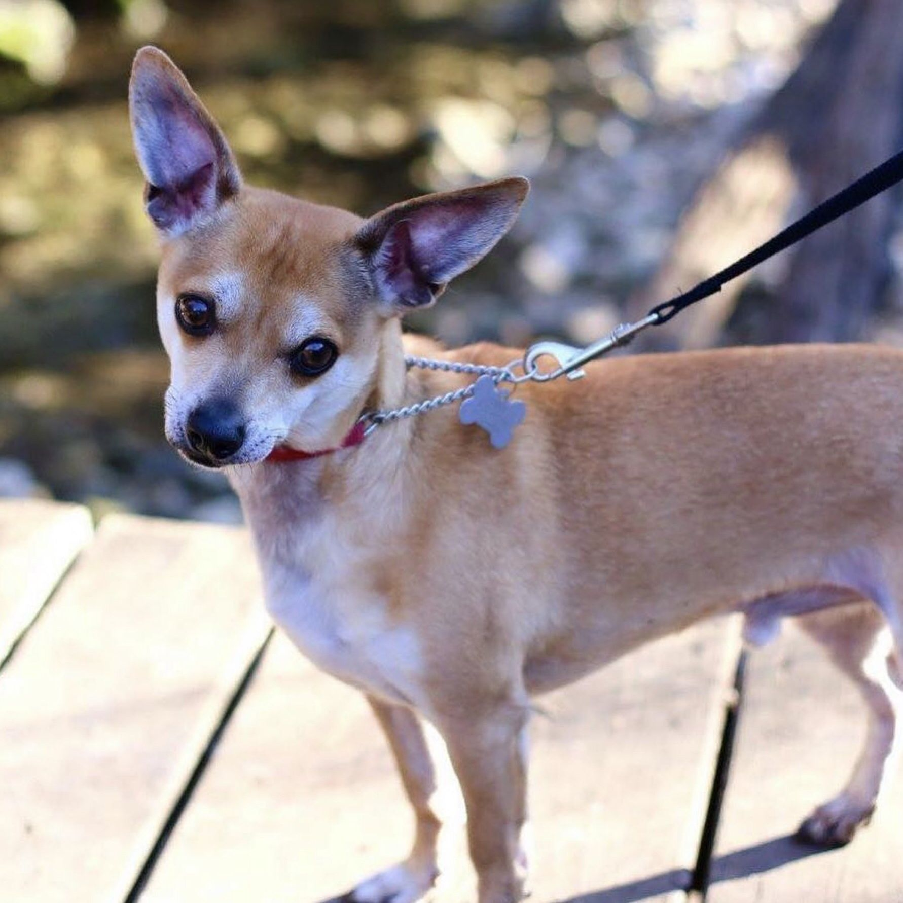 Little Chuli Is Available On Through Austin Dog Rescue Click To Learn More About This Cutie Dog Adoption Dogs Rescue Dogs