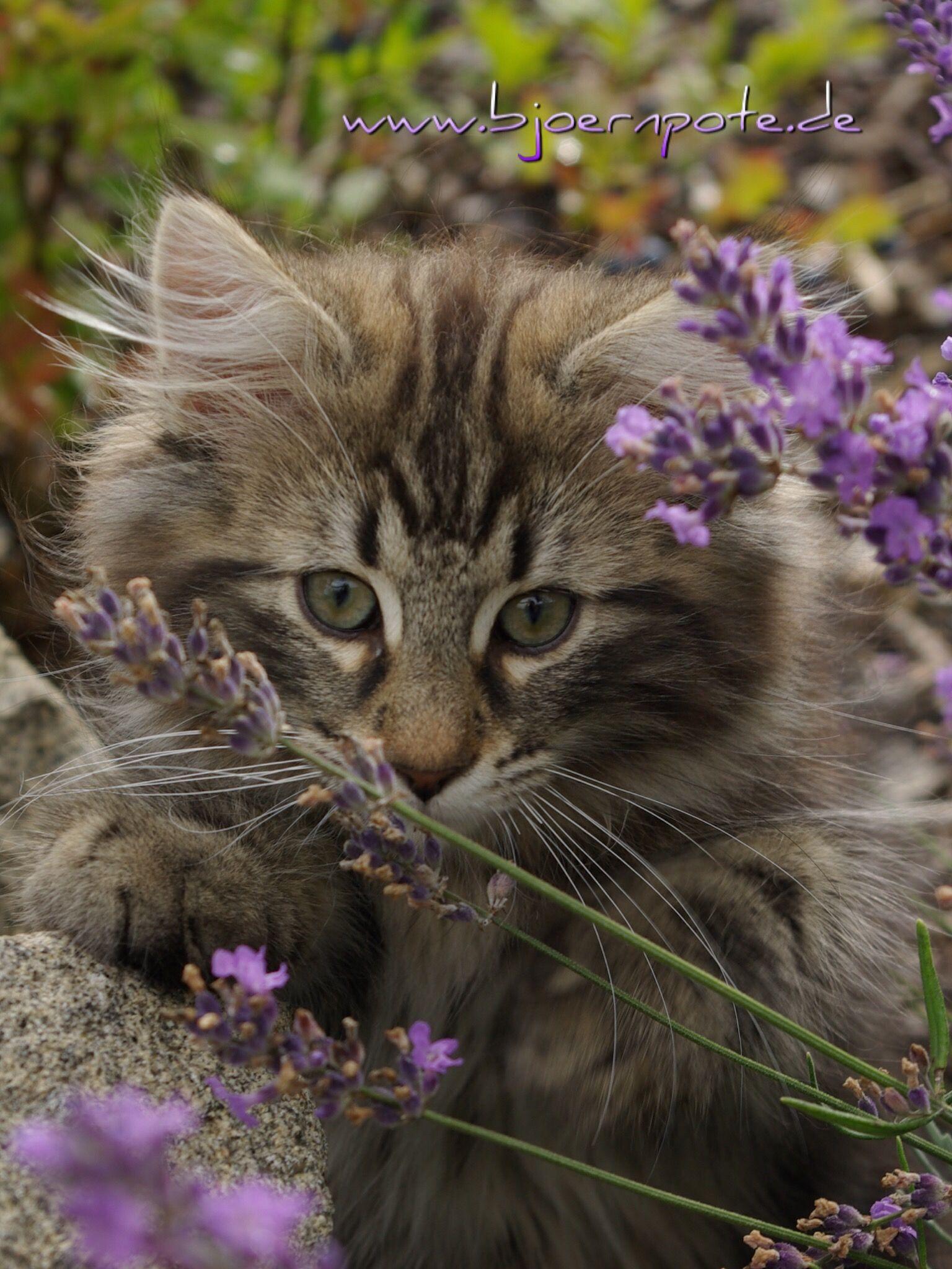 Katzenbaby  Lavendel süß Black tabby getigert