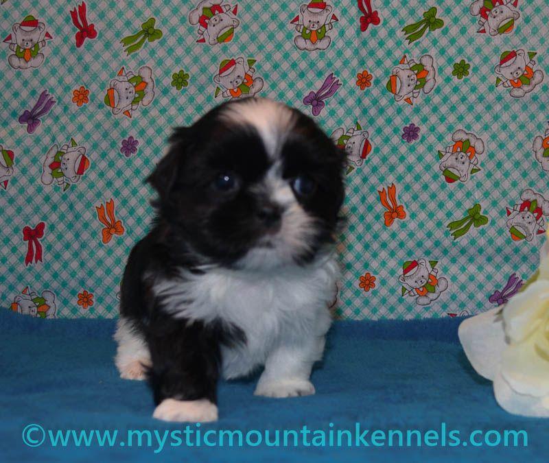 Shih Tzu Puppies For Sale In Peoria Illinois Ideas