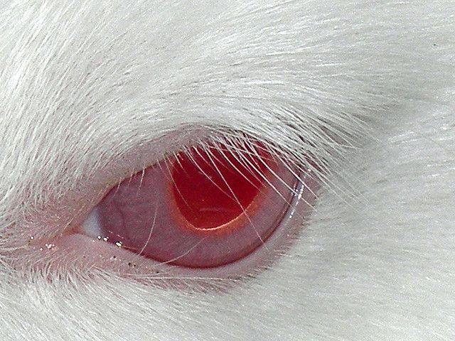 Red Eye Albino Rabbit Albino Red Eyes