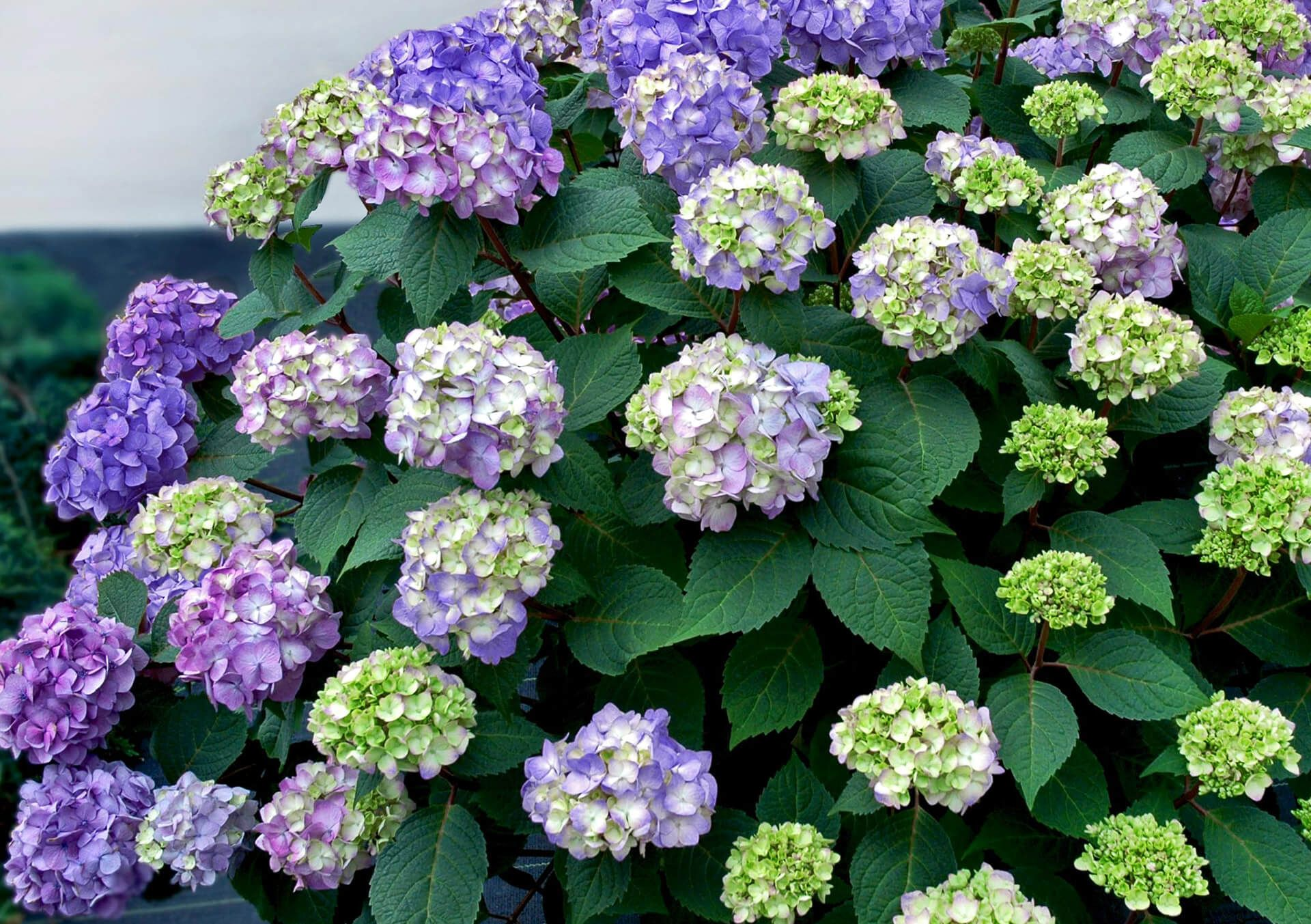 This Reblooming Hydrangea Flowers On Old And New Wood Intense Rose Pink Violet Or Blue Fl Bloomstruck Hydrangea Hydrangea Varieties Endless Summer Hydrangea