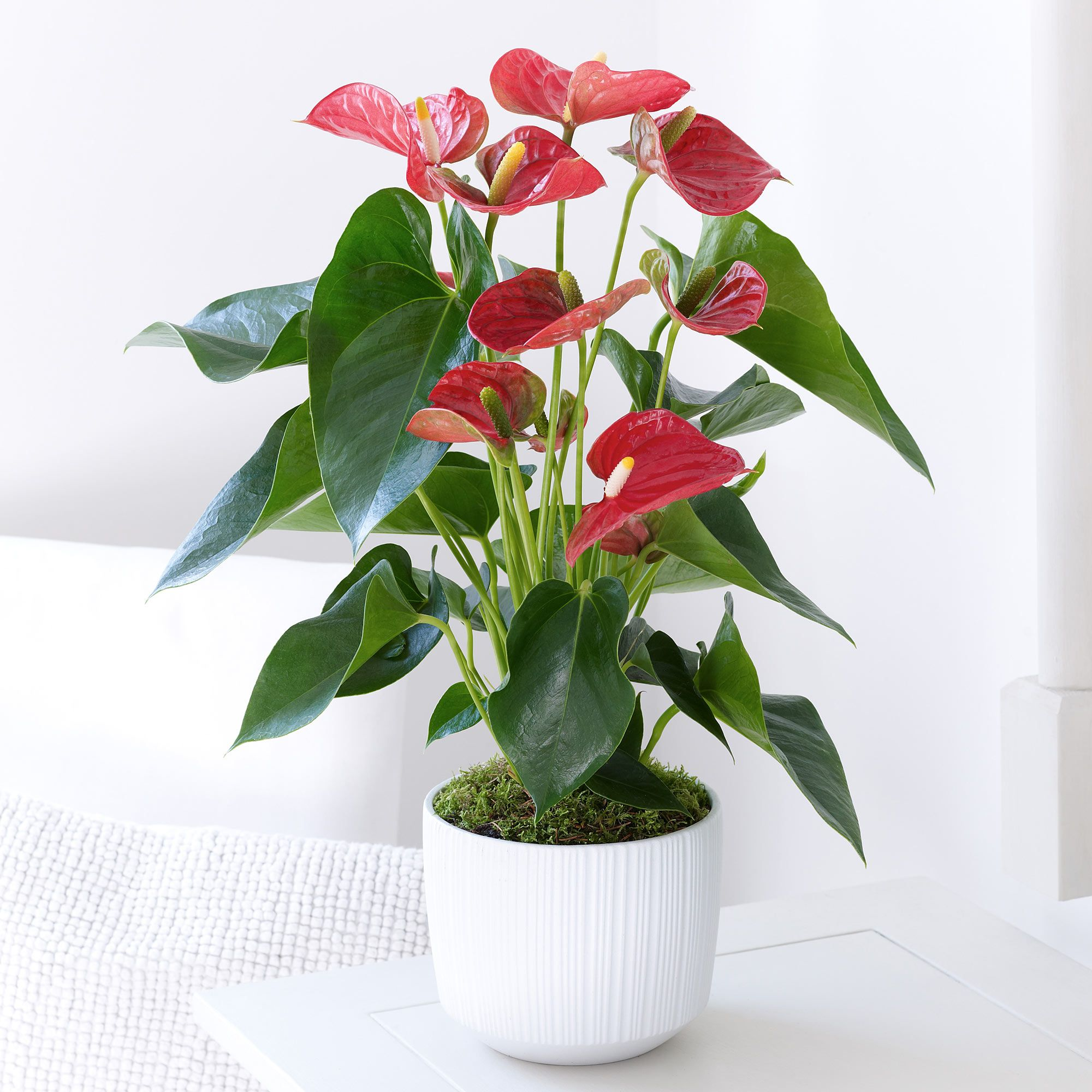 This Red Anthurium Plant Looks Very Exotic Inside The White Ceramic