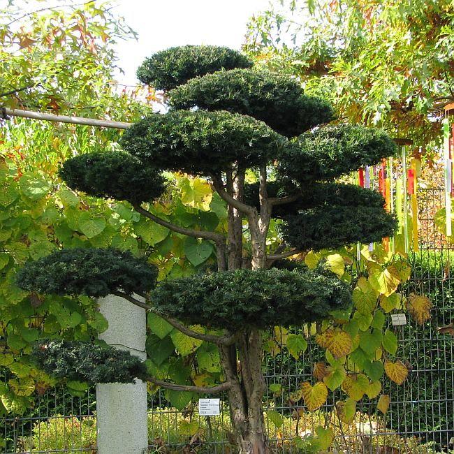 taxus baccata 39 repandens 39 mit ca 2m h he kissen eibe kriecheibe buchsbaum im garten. Black Bedroom Furniture Sets. Home Design Ideas