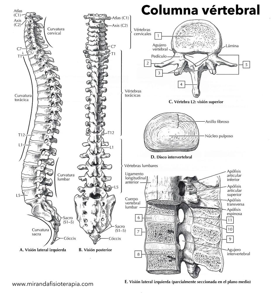 Para Colorear De La Columna Vertebral Anatomia Humana Musculos Anatomia Humana Ciencia Del Laboratorio Clinico