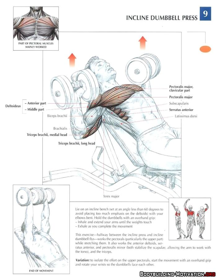 Training Anatomy - Chest - Incline Dumbbell Press | Lifestyle for ...