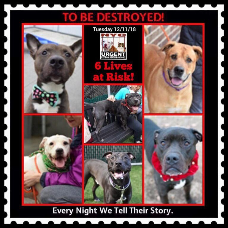 6 Lives To Be A Destroyed 12 11 18 Nyc Acc So Many Great Dogs