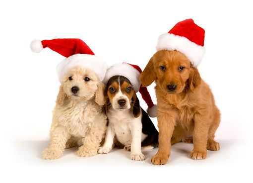 Golden Retrievers In Christmas Costumes Puppies In Christmas
