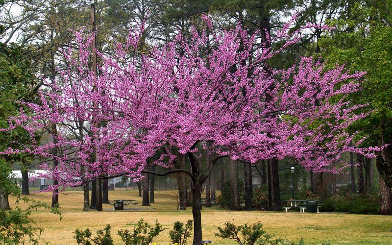 Buy The Rising Sun Redbud Tree Height At Maturity 12 15 Width At Maturity 12 15 Rising Sun Redbud Redbud Tree Tree