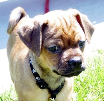 Pug And Boxer Mix Pictures Pug Miniature Pinscher Hybrid Dogs