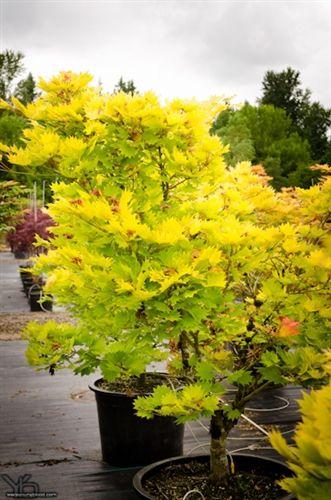 Acer Shirasawanum Aureum Japanese Maple Woodland Wonderland
