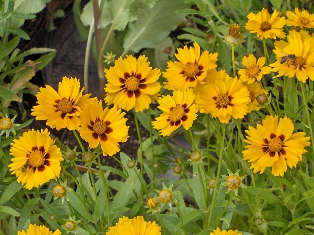 Flor Coreópsis