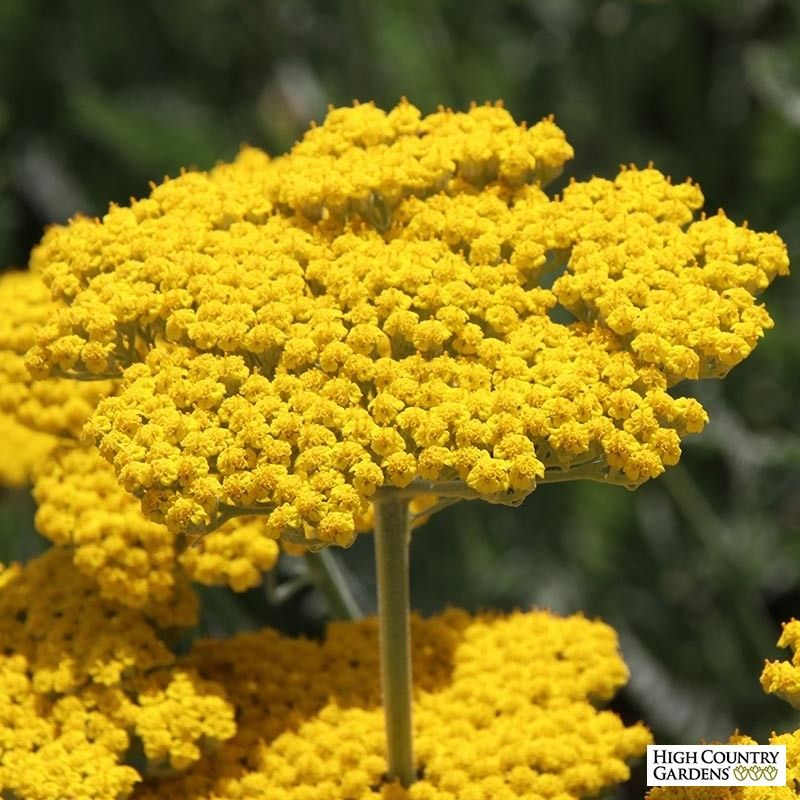Achillea filipendulina Coronation Gold -   15 planting other ideas