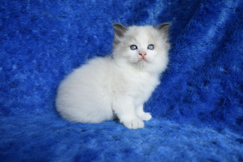 #ragdollkittens #buyragdoll #ragdoll #kittens #sale #for #buy #sKittens for Sale - Buy Ragdoll Kittens Kittens for Sale - Buy Ragdoll Kittens Kittens for Sale - Buy Ragdoll Kittens Kittens for Sale - Buy Ragdoll Kittens Kittens for Sale - Buy Ragdoll KittensKittens for Sale - Buy Ragdoll Kittens Kittens for Sale - Buy Ragdoll Kittens Kittens for Sale - Buy Ragdoll Kittens Kittens for Sale - Buy Ragdoll Kittens Kittens for Sale - Buy Ragdoll Kittens #ragdollkittens #ragdollkittens #buyragdoll #ra #ragdollkittens