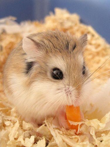 An Adorable Robo Hamster Munching On Some Carrots C Roborovski