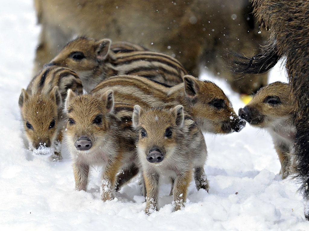 Cute Piggies Wallpaper Total Cute Overload Wild Boar Piglet Piggies Pig