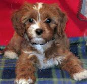Cavapoos Ayers Pampered Pets Athens Ga Dog Breeder Cavapoo