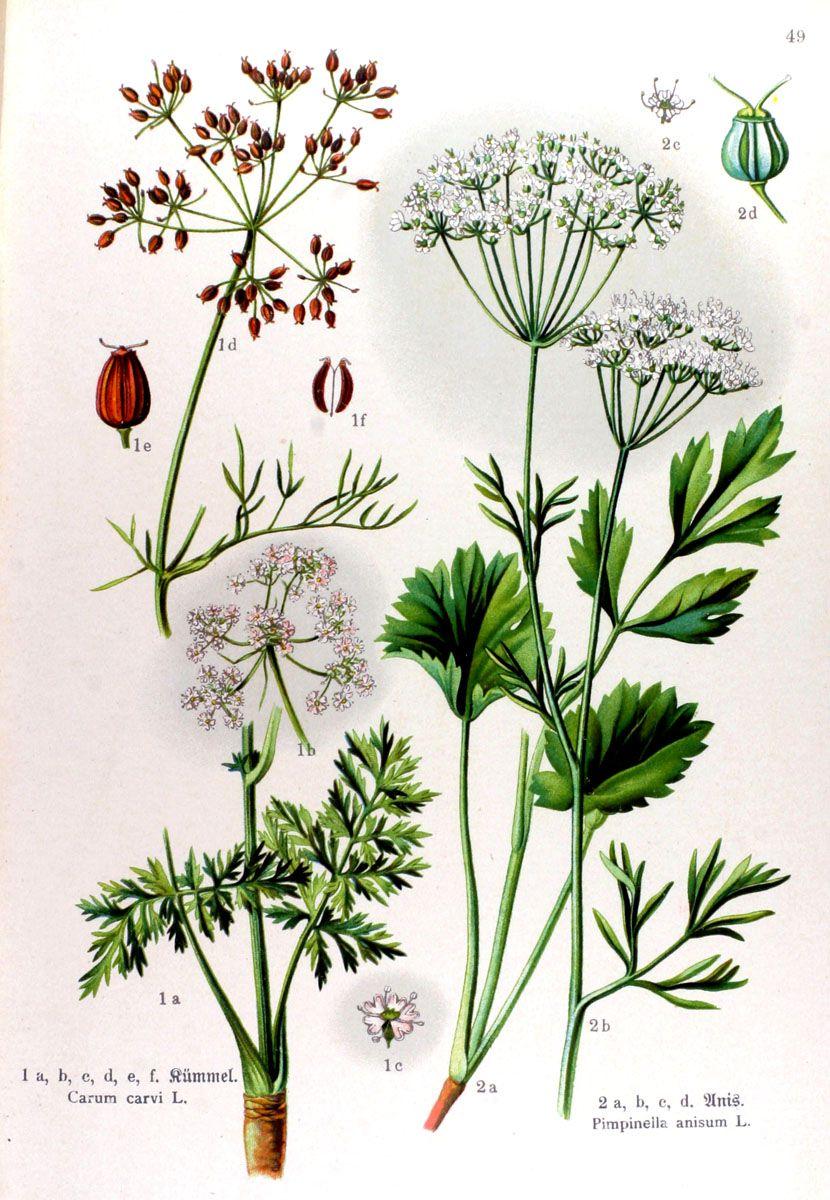 img/gravures anciennes de fleurs/gravure couleur ancienne de fleur - Carum carvi; Pimpinella anisum.jpg