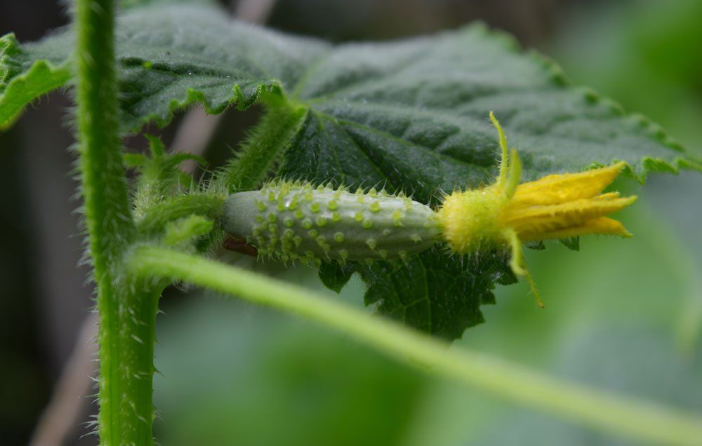 Everything You Need To Know About Growing Crisp Cucumbers 400 x 300