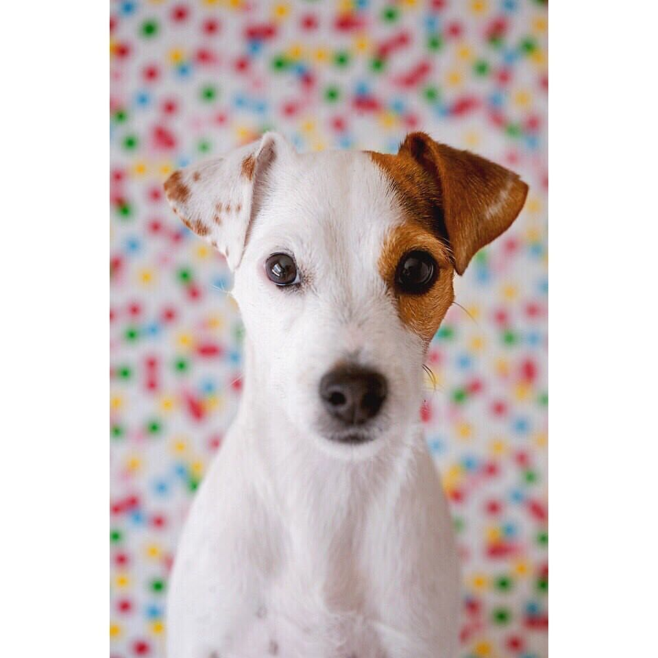 Pin By Beth Heuer On Jack Russell Terriers Jack Russell Dogs
